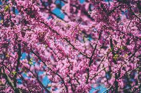 Cherry Blossom Facts by 6 Interesting Facts About March Tipsy