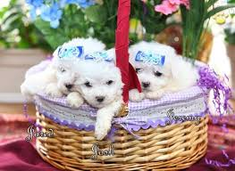bichon frise dog breeders 20 best puppy images on pinterest dogs for sale maltese dogs