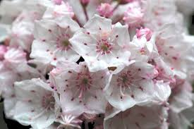 kalmia latifolia mountain laurel in bloom ny harbor nature