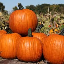 pumpkins for sale minnesota pumpkins for sale gilby s orchard near aitkin mn