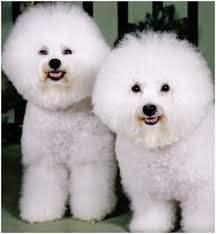 bichon frise dogs for adoption bichon frise puppies pictures rescue appearance facts