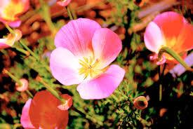 california native plant society blog garden native tour u2014 cnps san diego