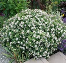 The Most Fragrant Plants - jasmine plant fragrant arabian sambac maid of orleans jasmine