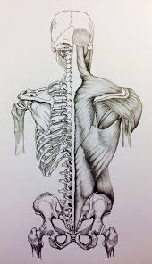 Anatomy Of Human Back Muscles The 25 Best Human Skeleton Ideas On Pinterest Skeleton Anatomy