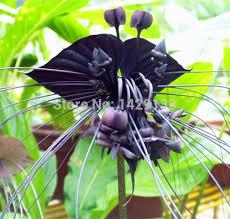black orchid flower best black tiger shall orchid flowers seeds flower orchid seeds