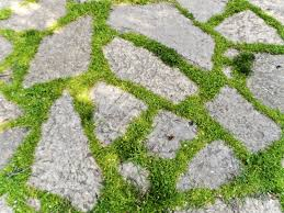 plants native to ireland ground cover plants between pavers best plants to grow within pavers