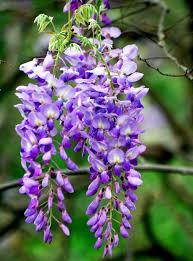 wisteria meaning wisteria sinensis prolific arboretum garden centre ltd