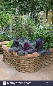 Decorative Vegetable Garden by Cabbages Growing In A Mixed Flower And Vegetable Garden Sumar