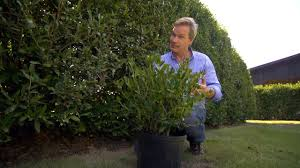 how to grow hedge screens at home with p allen smith youtube