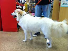 great pyrenees rescue provides wonderful dogs to good homes 1844 best great pyrenees images on pinterest mountain dogs