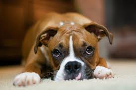 boxer dog vomiting after eating the top 3 best dog foods for boxers