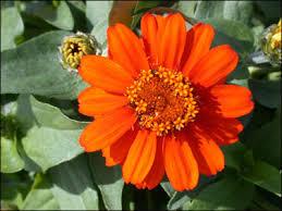 Zinnia Flower Plant Id Flowers And Foliage Zinnia Florida Master Gardener