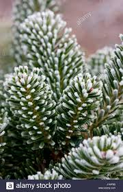 abies fraseri the christmas tree farm hawkwell stock photo
