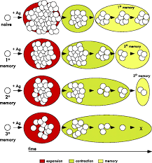 population dynamics of naive and memory cd8 t cell responses after