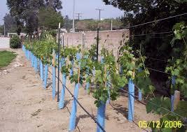 Grape Trellis For Sale My Home Vineyard U2013 A Beautiful Custom Home Vineyard