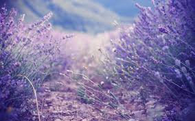 live hd themes for pc lavender wallpapers live lavender pics 44 pc t4 themes wallpapers
