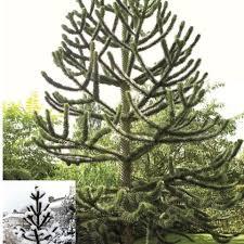 araucaria araucana monkey puzzle tree telegraph garden shop