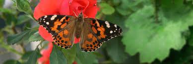 butterflies roses home