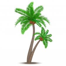 tropical palm tree with coconuts symbol isolated vector
