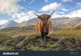 highland cow trossachs arrochar mountains distance stock photo