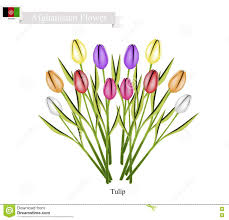 most popular flowers tulip flowers the popular flower of afghanistan stock vector