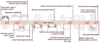 embryology of the heart skudra net
