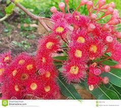 best australian native plants australian gum tree eucalyptus in red flower stock photo image