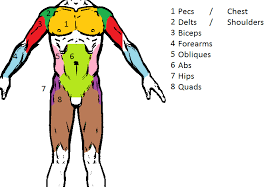Human Body Muscles Images Muscle Groups A Tour Of The Human Body U0027s Major Muscle Groups
