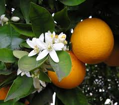 When Does A Lemon Tree Produce Fruit - citrus wikipedia