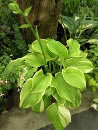 Fragrant Shade Plants - fragrant blue hosta 24