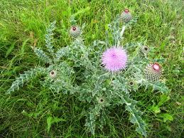 native ohio plants identify common lawn weeds identify weeds in ohio