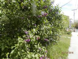 lilacs pictures growing in our fields at the flowering shrub