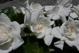 Gardenias by Gardenias In Florida Interesting How To Get Rid Of Sooty Mold On