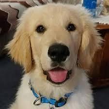 affenpinscher a donner pomsky puppies for sale