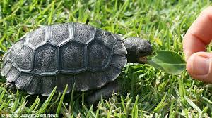 down here baby tortoise hatches that is 3 000 times smaller than