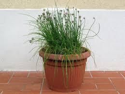 erba cipollina in vaso la preziosa erba cipollina buona e facilissima da coltivare