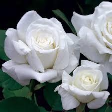 pope john paul ii hybrid tea rose bareroot white rose for sale at jp