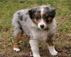 5 month old mini australian shepherd abigale the mini australian shepherd puppies daily puppy