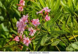 oleander widely used ornamental plants stock photos oleander
