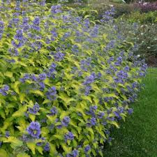 Bluebeard Flower - gardenersdream caryopteris clandonensis hint of gold bluebeard