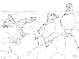 realistic atlantic puffins coloring page free printable coloring
