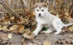 husky puppy wallpaper