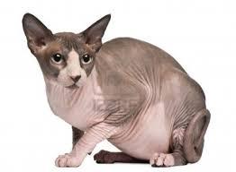 Basta Sphynx, Um Gato Realmente Diferente | Blog Pet Care &PK82