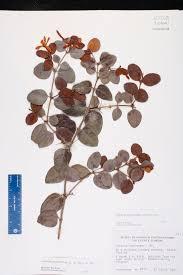 Fragrant Plants Florida - carissa macrocarpa species page isb atlas of florida plants