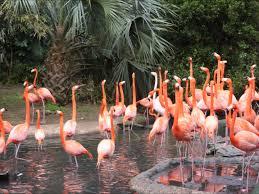 pink flamingos bermuda zoo march 27 2016 youtube