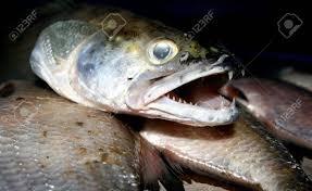 zander sander lucioperca freshwater fish stock photo picture
