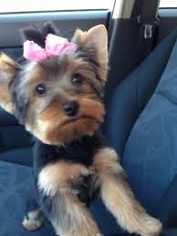 yorkie hairstyles photo gallery 9 best yorkie haircuts images on pinterest hair cut yorkie and