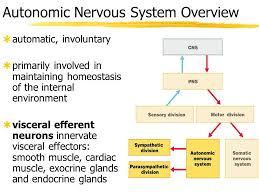 Ans Anatomy And Physiology How Does The Autonomic Nervous System Function In The Maintenance