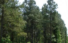 pine trees record holders oldest and now genome