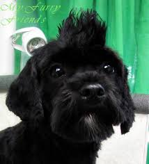 affenpinscher good bad pet grooming the good the bad u0026 the furry grooming by the book
